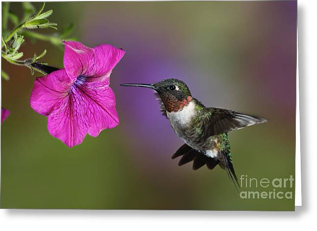 Ruby-throated Hummingbird - D004190 Greeting Card