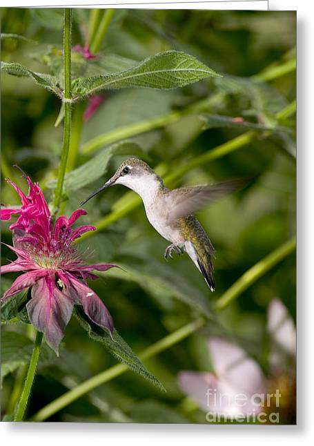 Ruby-throated Hummingbird Greeting Card by Gregory K Scott