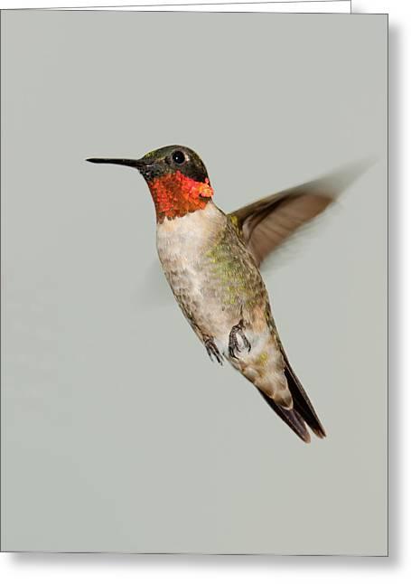 Ruby-throated Hummingbird In Flight Greeting Card by Lara Ellis