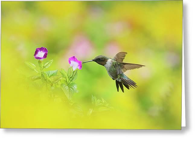 Ruby-throated Hummingbird Male Greeting Card by Rolf Nussbaumer
