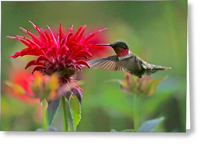 Ruby Throated Hummingbird With Beebalm Greeting Card by Clare VanderVeen