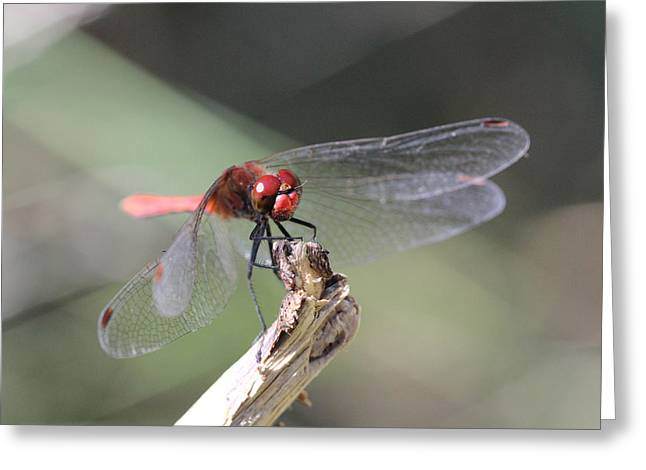 Greeting Card featuring the photograph Ruddy Darter Dragonfly - Sympetrum Sanguineum by Jivko Nakev