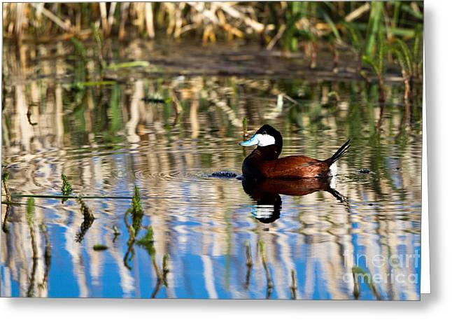 Ruddy Duck Drake Greeting Card