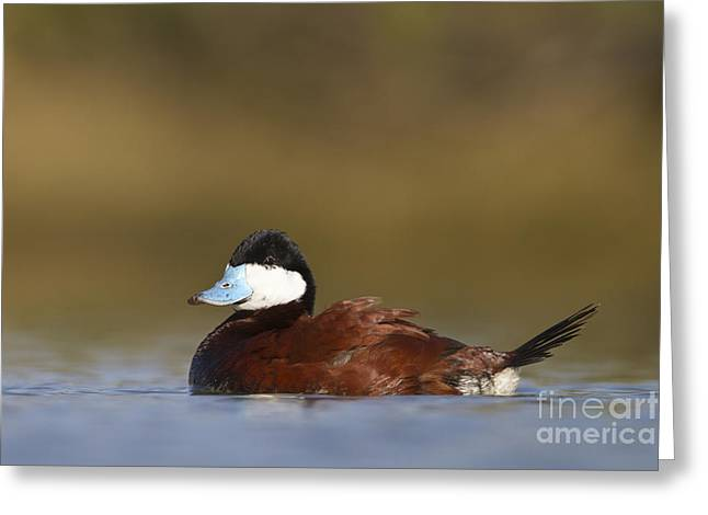 Greeting Card featuring the photograph Ruddy Duck  by Bryan Keil