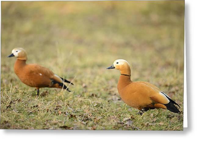 Ruddy Shell-duck Pair Greeting Card