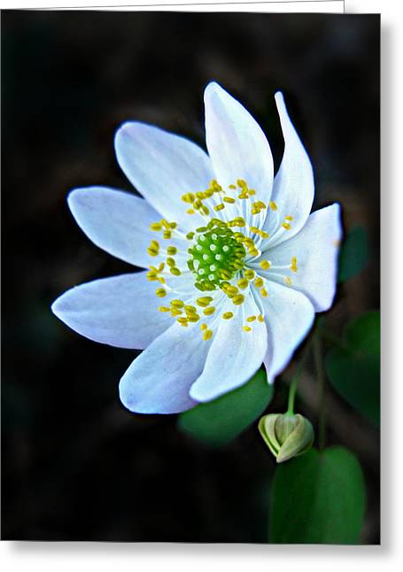 Greeting Card featuring the photograph Rue Anemone by William Tanneberger