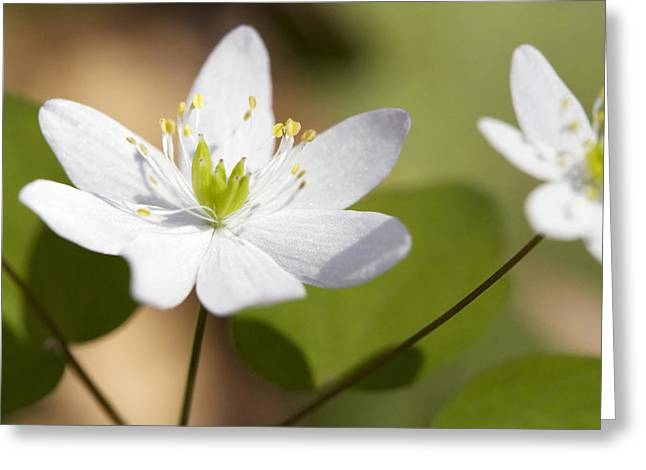 Rue Anemone Greeting Card by Melinda Fawver
