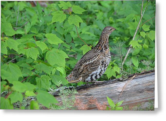 Ruffed Grouse Greeting Card by James Petersen