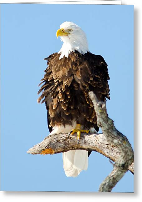 Ruffled Eagle Greeting Card