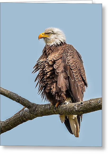 Ruffled Feathers Bald Eagle Greeting Card