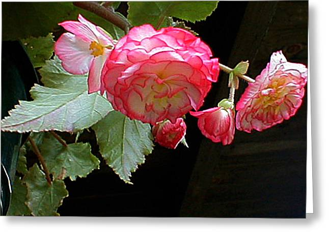Ruffled Pink Begonia's Greeting Card
