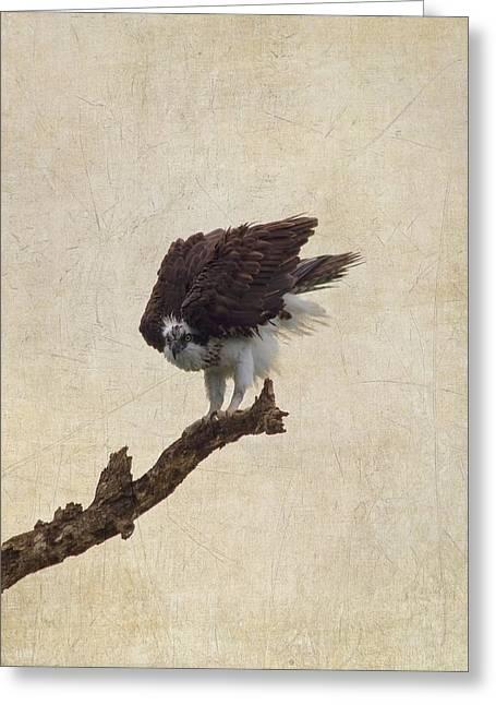 Ruffled Up Osprey Greeting Card by Kim Hojnacki