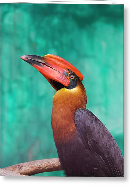 Rufous Hornbill (buceros Hydrocorax Greeting Card by Keren Su