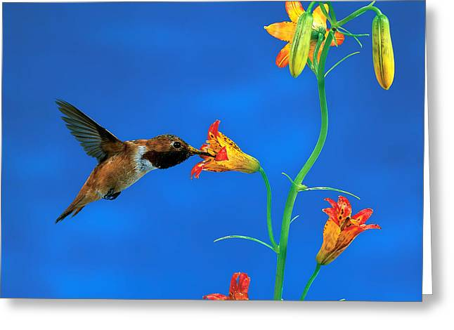 Rufous Hummingbird Greeting Card by Anthony Mercieca