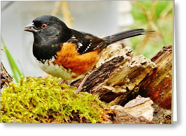 Greeting Card featuring the photograph Spotted Towhee by VLee Watson