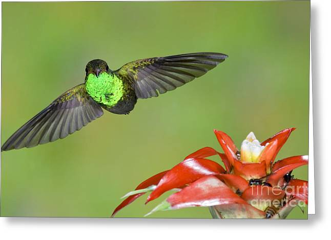 Rufous-tailed Hummer-ecuador Greeting Card by Anthony Mercieca