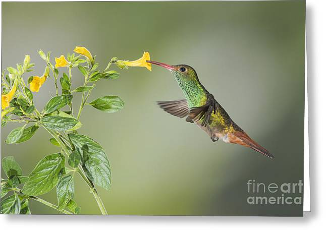 Rufous-tailed Hummingbird Greeting Card by Dan Suzio