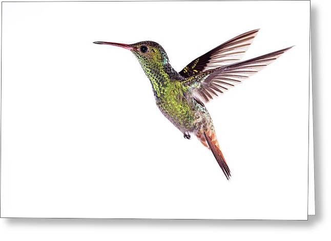 Rufous-tailed Hummingbird Greeting Card