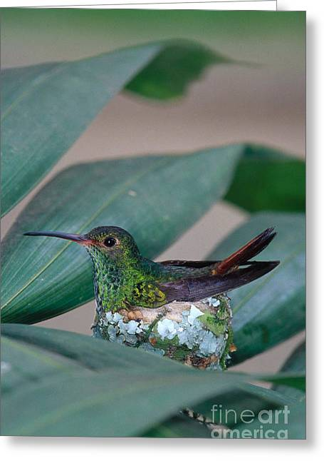 Rufous-tailed Hummingbird On Nest Greeting Card by Gregory G Dimijian MD