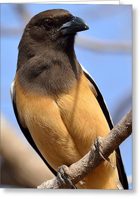 Rufous Treepie. Another Portrait Greeting Card by Fotosas Photography