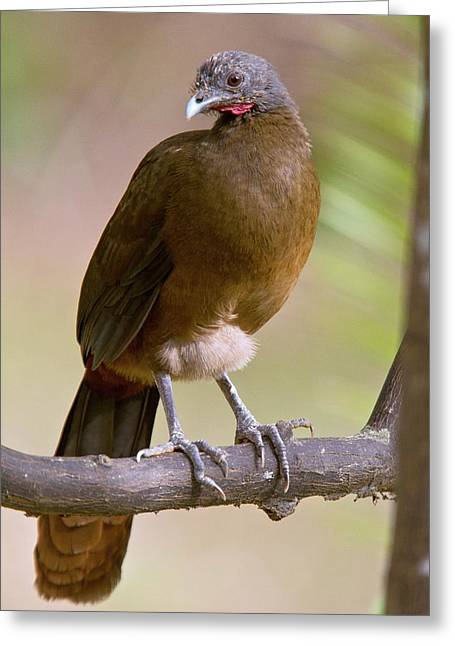Rufous-vented Chachalaca Greeting Card