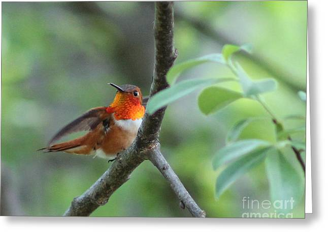 Rufus Hummingbird Greeting Card