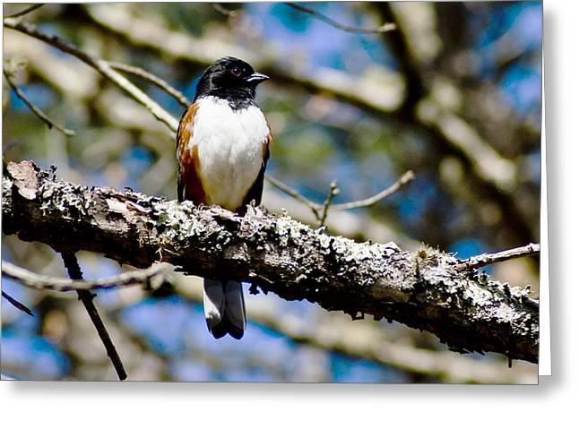 Rufus Sided Towhee Greeting Card by Dennis Coates