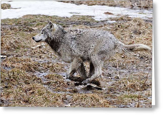 Greeting Card featuring the photograph Running Timber Wolf by Wolves Only