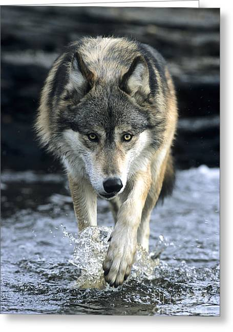 Running Wolf Greeting Card