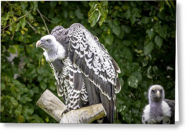 Ruppells Griffon Vulture  Roost  Greeting Card