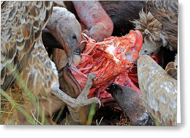 Ruppell's Vultures Feeding Greeting Card
