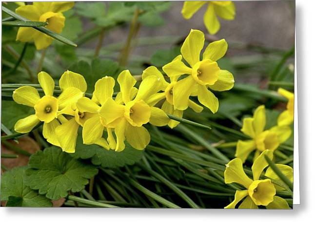 Rush-leaf Jonquil (narcissus Assoanus) Greeting Card by Bob Gibbons