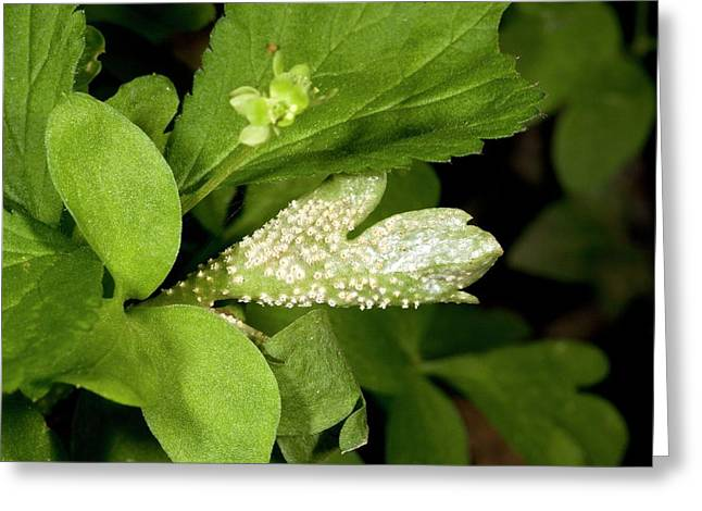 Rust Fungus On Moschatel Greeting Card by Bob Gibbons