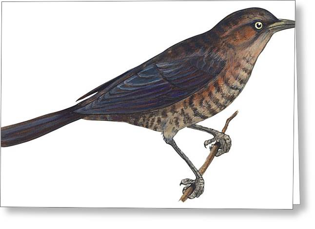 Rusty Blackbird  Greeting Card by Anonymous