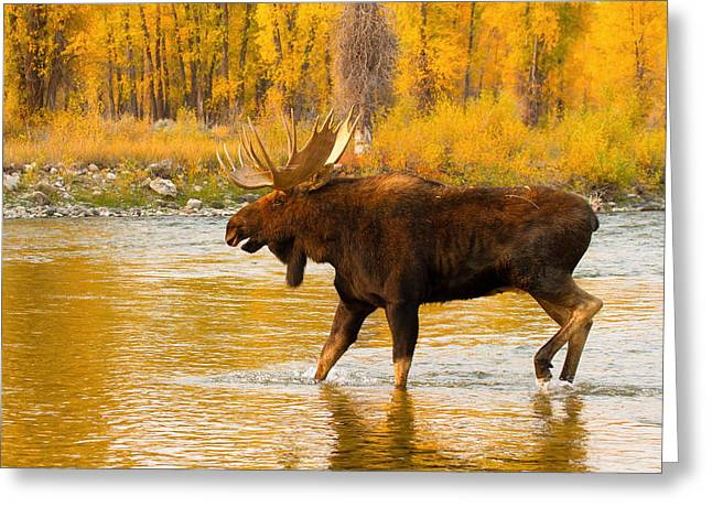 Greeting Card featuring the photograph Rutting Bull by Aaron Whittemore