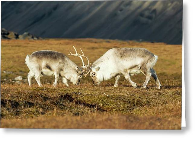 Rutting Svalbard Reindeer Greeting Card by Peter J. Raymond