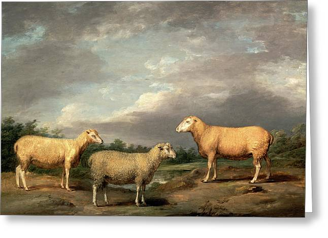 Ryelands Sheep, The Kings Ram, The Kings Ewe And Lord Greeting Card by Litz Collection