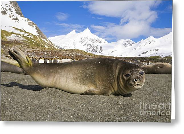Southern Elephant Seal Pup Greeting Card by Yva Momatiuk John Eastcott