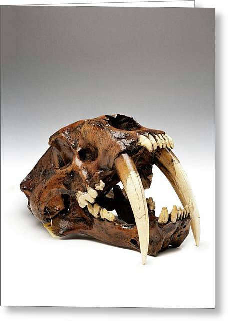 Sabre-toothed Cat Skull Greeting Card