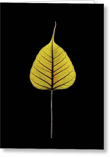 Sacred Fig (ficus Religiosa) Leaf Greeting Card by Gilles Mermet