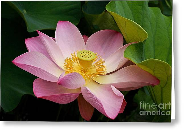 Sacred Lotus Greeting Card by Byron Varvarigos