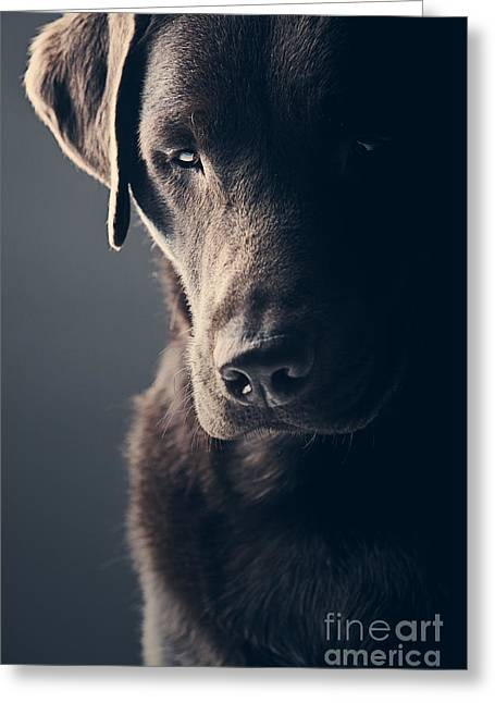 Sad Chocolate Labrador Greeting Card by Justin Paget