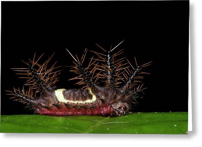 Saddleback Moth Caterpillar (acharia Greeting Card