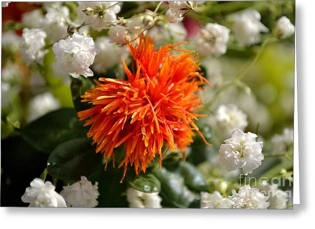 Safflower Amongst The Gypsophilia Greeting Card