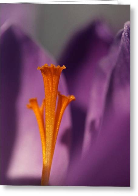 Saffron - Centre Stage Greeting Card