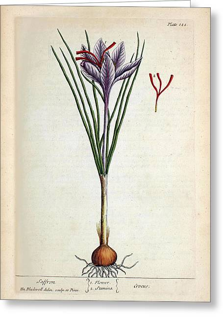 Saffron Plant Greeting Card by National Library Of Medicine