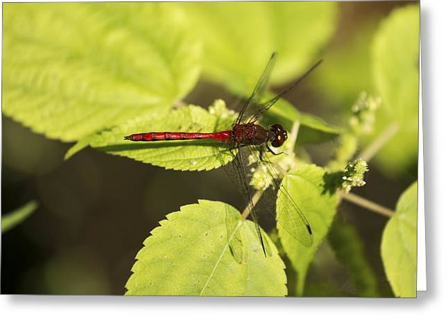 Saffron-winged Meadowhawk Greeting Card by Tracy Winter