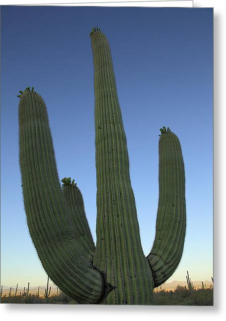 Greeting Card featuring the photograph Saguaro Cactus At Sunset by Alan Vance Ley