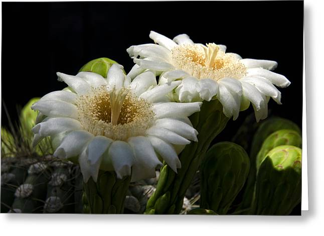 Saguaro Cactus Flowers  Greeting Card by Saija  Lehtonen