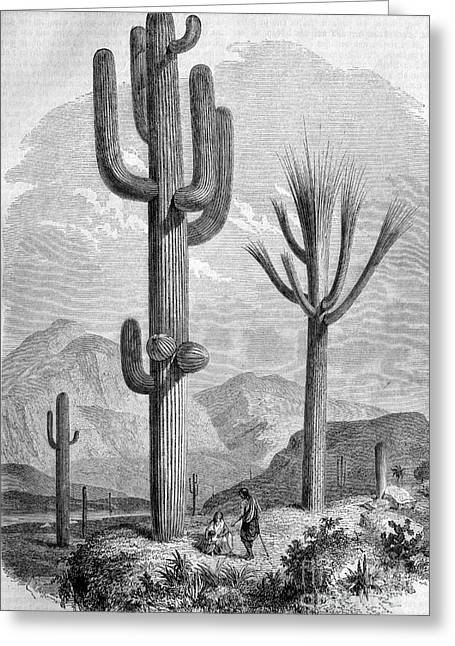 Saguaro Cactus, Historical Artwork Greeting Card